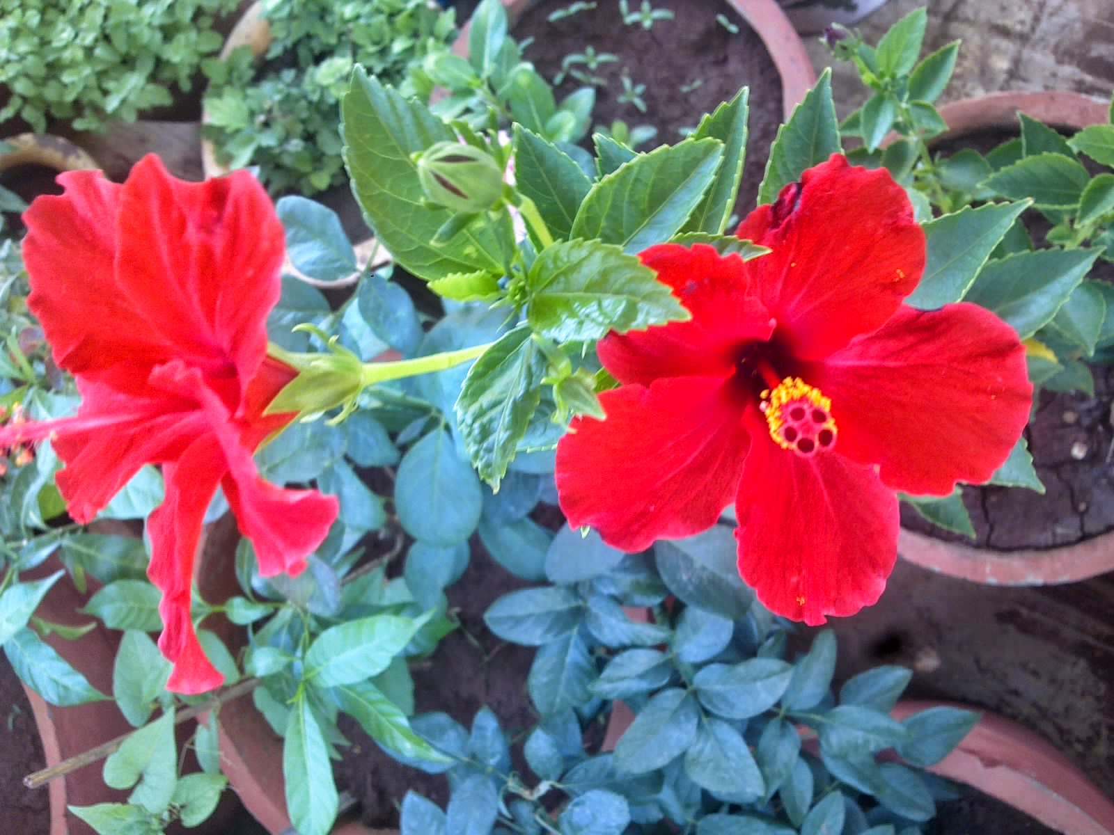 Plants growing in my potted garden how to grow and take care of fertilization for hibiscus plants hibiscus plants require some nitrogen in the soil in order to grow wellyou can place little bits of dry cow dung pats izmirmasajfo
