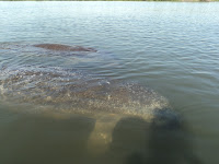Science, Research, Biology, Florida Manatees