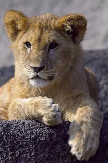 ملف كامل عن اجمل واروع الصور للحيوانات  المفترسة   حيوانات الغابة  389927867_3b4a301595