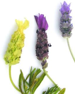 Lavendar lavendar