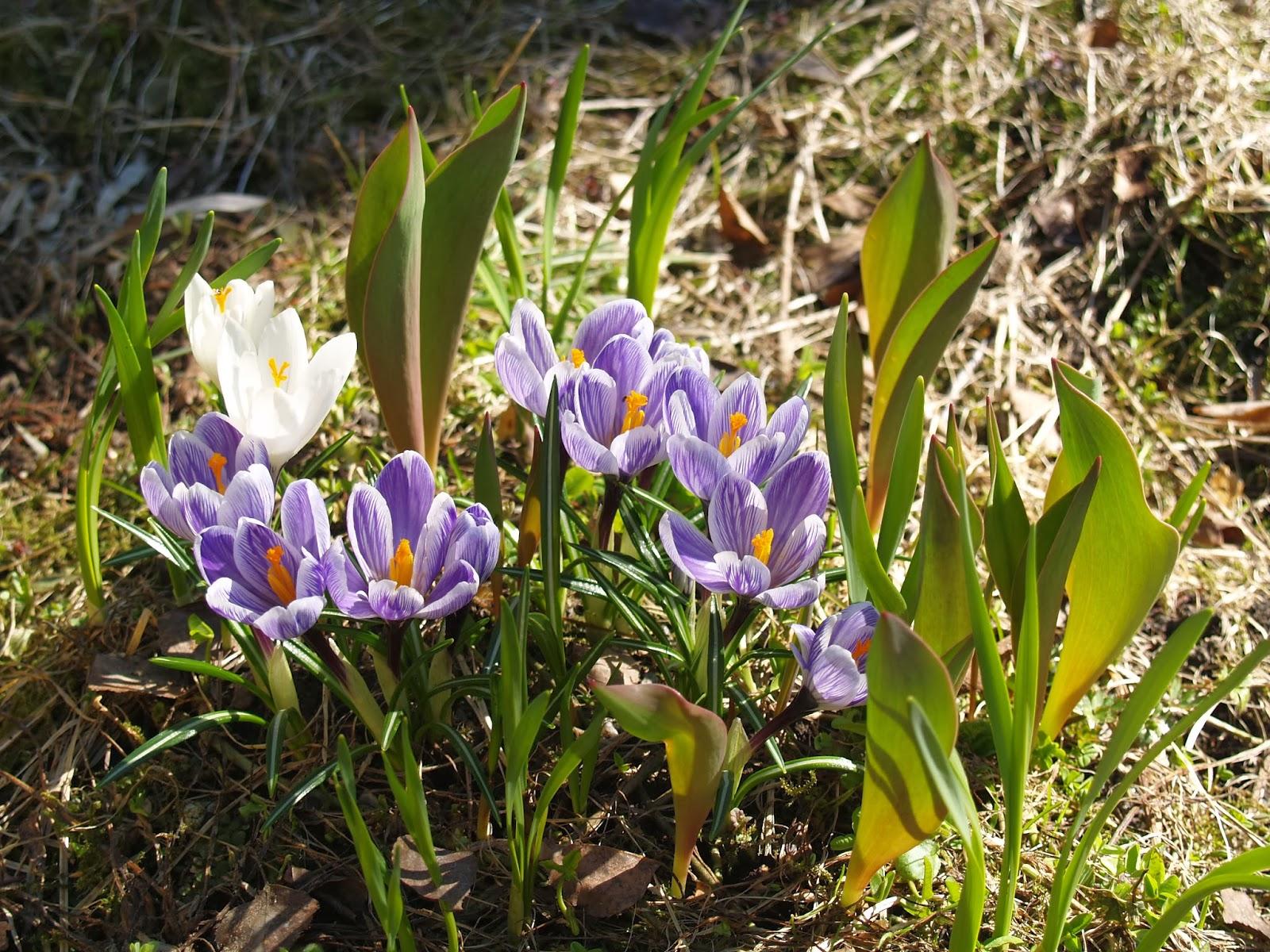 kevätsahrami