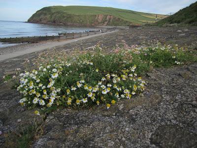 Day 2: Tripleurospermum maritimum – Sea Mayweed - Wainwright Coast to Coast Walk