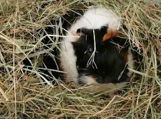 Meerschweinchen verstehen - Meerschweinchen Muck versteckt im Heu