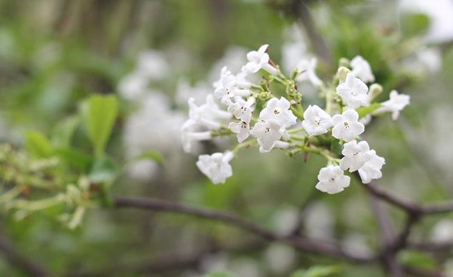 Viburnum Farreri Flowers Pictures