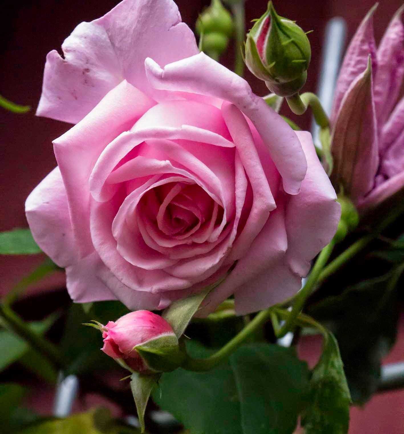 rose fint skal det være