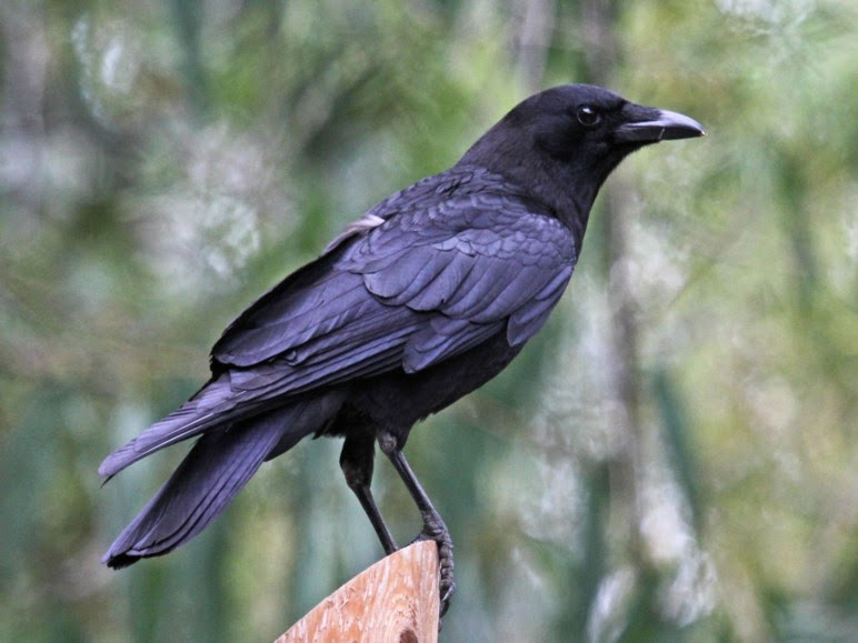 Animal Facts News And Info What S The Difference Between A Raven And A Crow