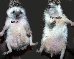 phân biệt nhím đực cái