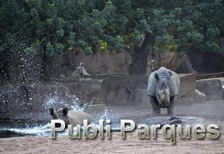 Rinoceronte entrando en el agua - verano 2015 - BIOPARC Valencia