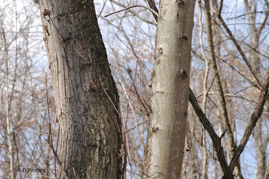 Field Biology In Southeastern Ohio Maples Of Ohio - Norway maple bark