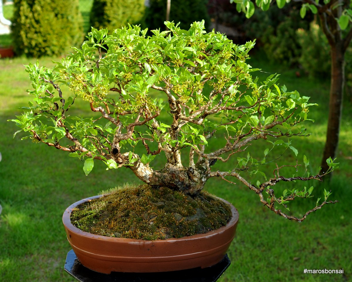 Maros Bonsai Blog Cornus Mas No1 QuotVesnaquot Moss Variations