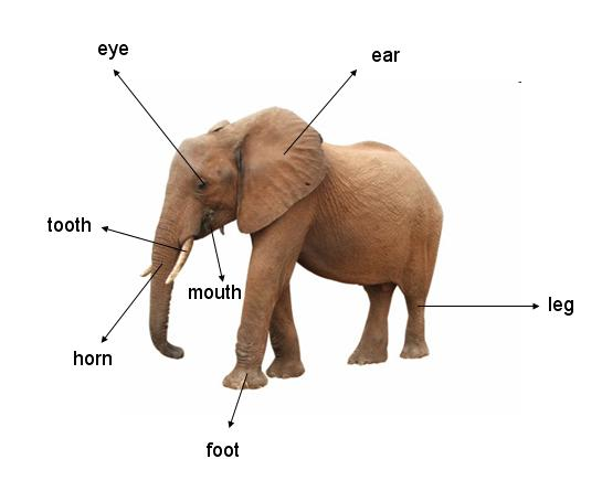 Elephant Body Parts Name http://thelionkingsafari.blogspot.com/2011/06/solution-of-parts-of-animals-body.html