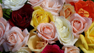Colorful roses wallpapers - pink-red-orange-yellow-rose-wallpaper