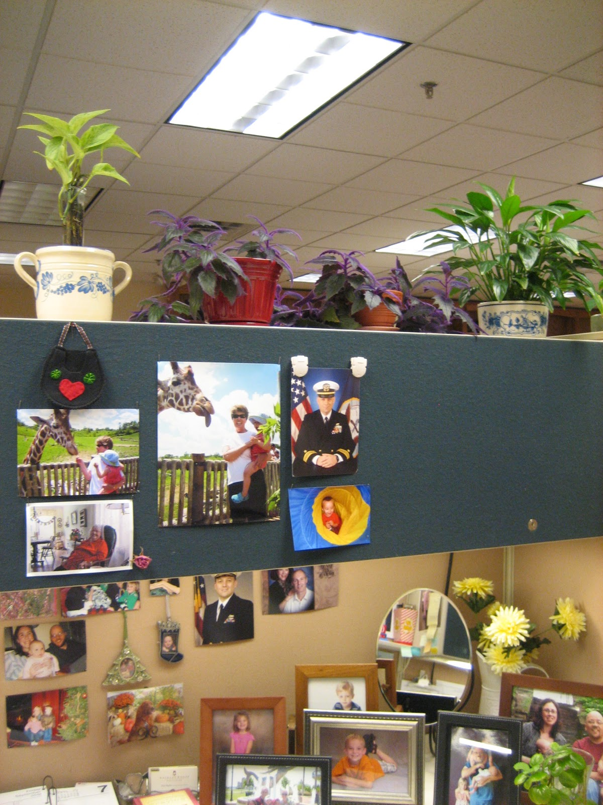 plants for office cubicle. Finally, This Space Above My Cubicle Has Two Purple Passion Plants. I Got First One From Heidi. Believe She Lived In Baton Rouge, Louisiana, Plants For Office A