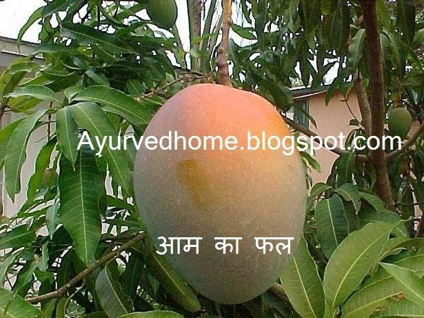 Use of Mango as Medicinal Plant , आम का औषधि के रूप में प्रयोग , Aam ka Ped