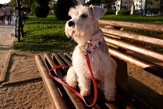 foto cachorro schnauzer de bandana