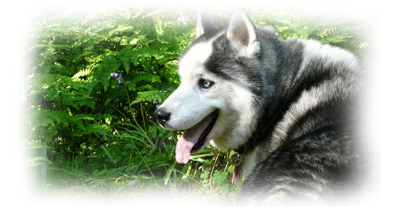 Image Result For Siberian Husky Facts And Information
