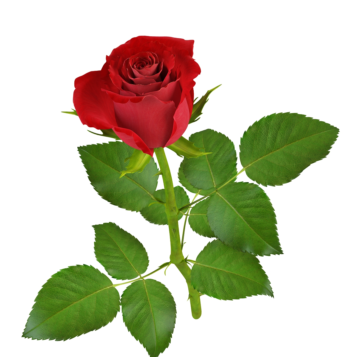 rose11 1 4 - Lovly Red Rose