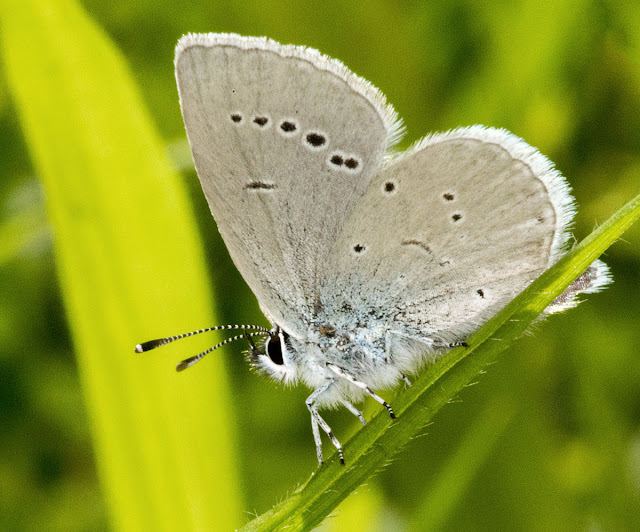 Butterfly, Small Blue, Cupido minimus. Female.  Hutchinson's Bank, 14 June 2012.