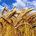 COTRISA incia el 1 de diciembre compra de trigo a pequeños productores