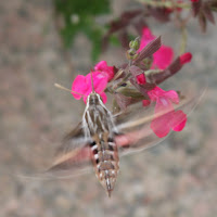 hummingbird moth photograph