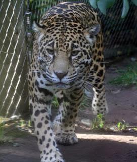 ملف كامل عن اجمل واروع الصور للحيوانات  المفترسة   حيوانات الغابة  2125550401_f4b696d76f