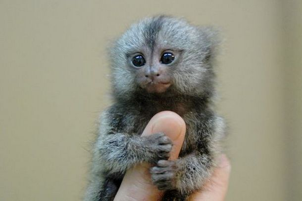 Worlds smallest Monkey