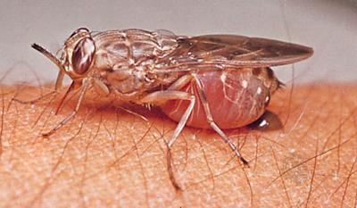 10 serangga paling berbahaya di dunia Tsetse-fly1