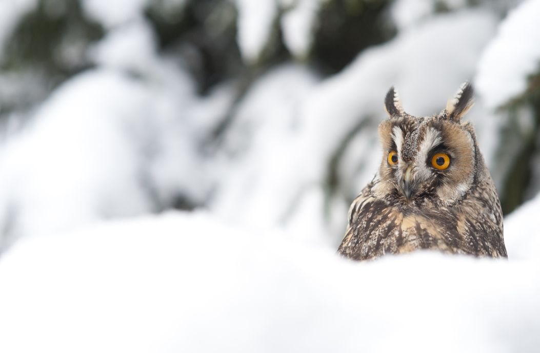 4. Photograph Long Eared Owl in deep snow. by Russel Davidson