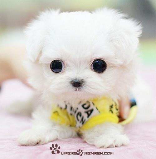 Adorable new born white Maltese puppy