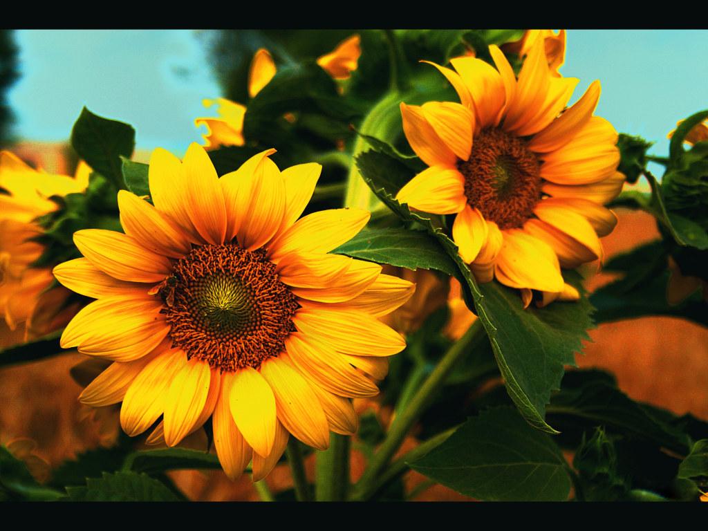 http://2.bp.blogspot.com/-WCWyXDsZw6M/T8fwnf34PMI/AAAAAAAAARI/vi6ezRBuDOU/s1600/sunflower.jpg