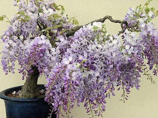 Bonsais con flores malvas