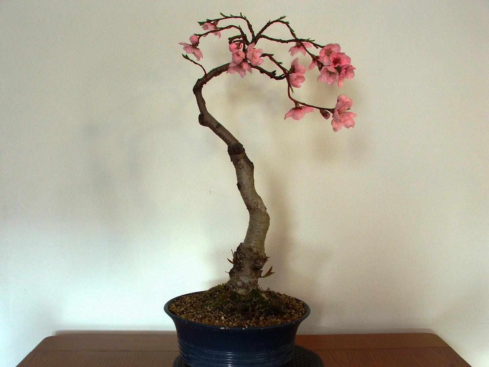 Evoluzione bonsai bonsai di pesco peach prunus persica for Bonsai ciliegio