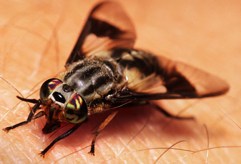 How To Get Rid Of Horse Flies On Dogs