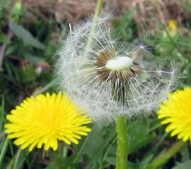 Dandelion seed head, Hayes Street Farm. Taraxacum officinale. 27 April 2011.