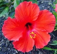 Manfaat bunga kembang sepayu