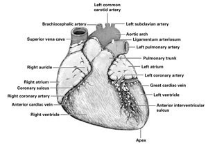 Worksheets Sheep Heart Dissection Lab amazing anatomy blog the heart dissection lab lab