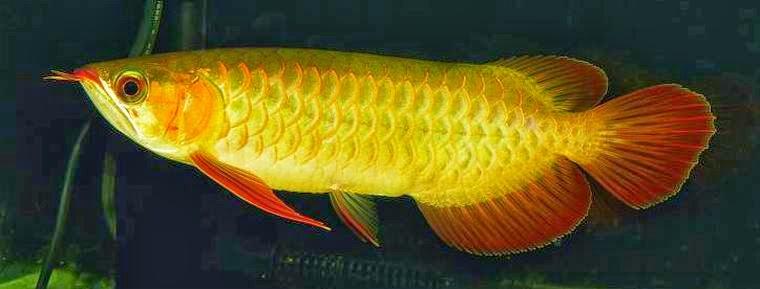 dijual ikan arwana golden red