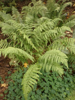 Lush Ferns Flourish at Leach's Woodland