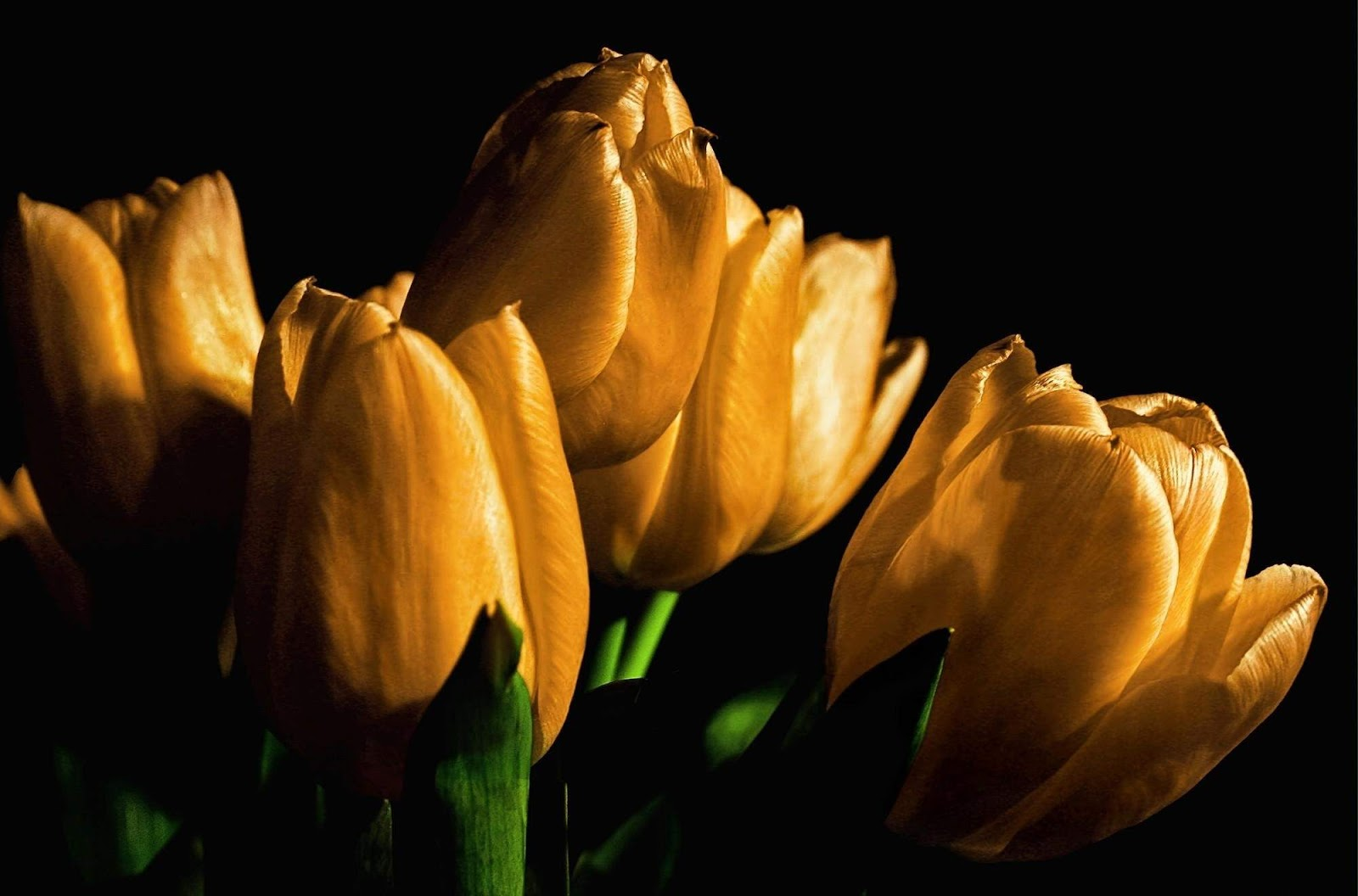 http://2.bp.blogspot.com/-WDYAHHSBifA/UT8ftkkzM_I/AAAAAAAADv4/cFqSHxG8kpI/s1600/tulips_yellow_flowers_buds_light_black_background-yellow-black+wallpaper-hd.jpg
