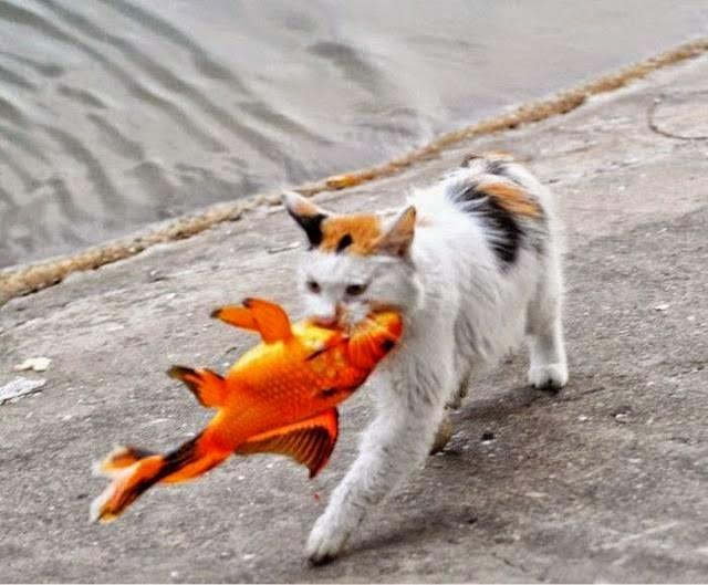 Gambar Kucing Makan Ikan godean.web.id