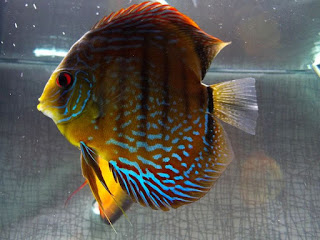 The Brown Discus or the Symphysodon Aequifasciatus Axelrodi