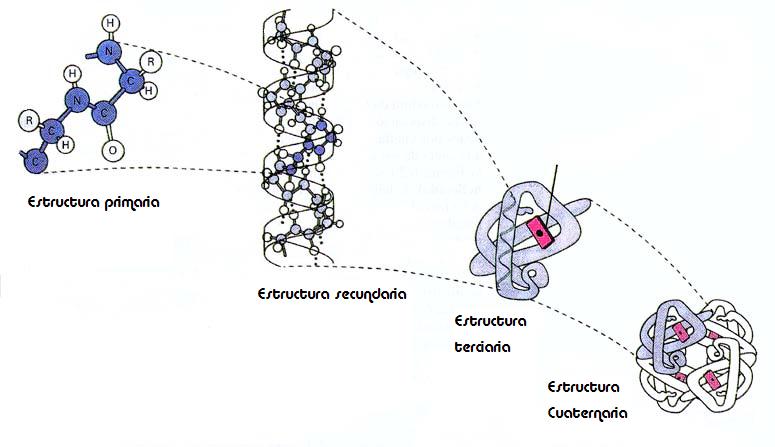 Proteínas: enlace peptídico, estructura de las proteínas