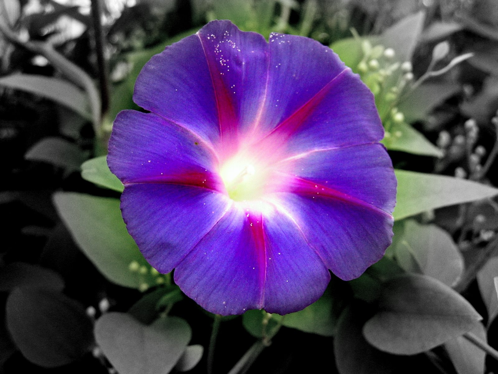 Morning glory is one type of flower of about 100 species of flowers
