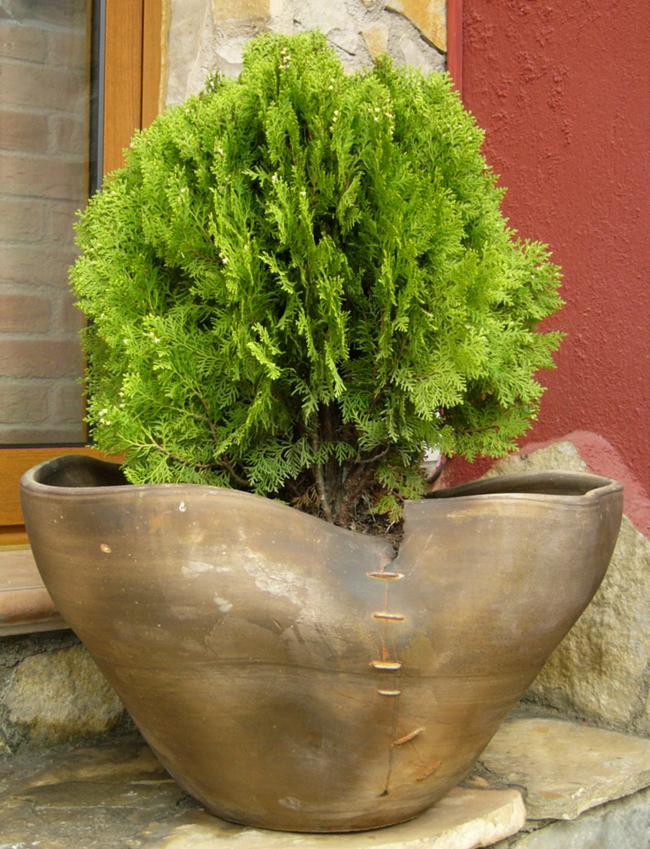 Arte y jardiner a el jard n en macetas for Tipos de pinos para jardin fotos
