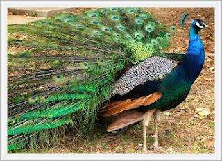 Jenis Burung Merak dan Daerah Asalnya