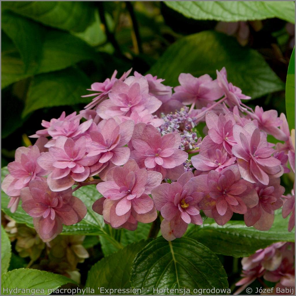 Hydrangea macrophylla 'Expression' - Hortensja ogrodowa 'Expression'