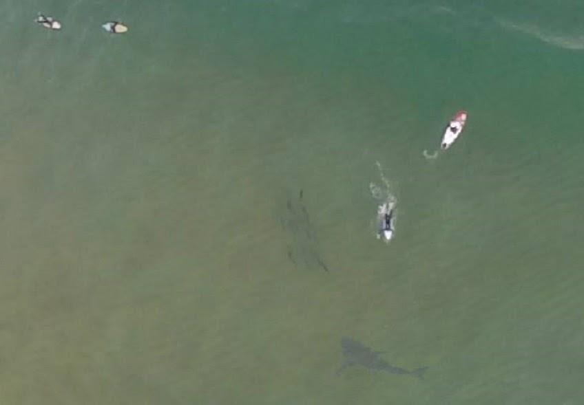 GoPro Drone aerial image of great white shark near paddleboarders in Kilcare Australia