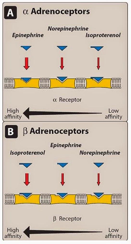 Pharmacological Blog: Adrenergic receptors (adrenoceptors)