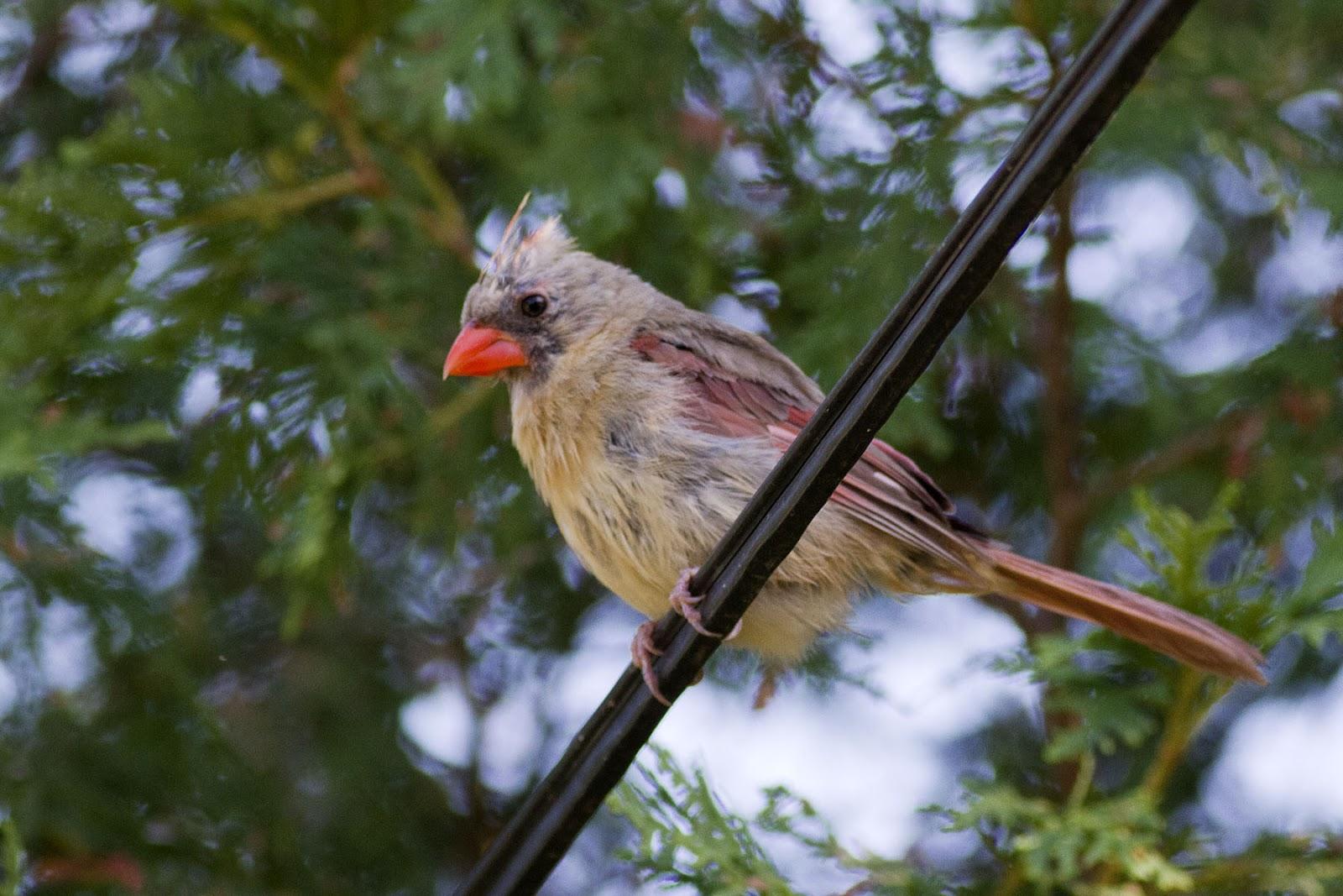 ann brokelman photography baltimore orioles and more backyard birds