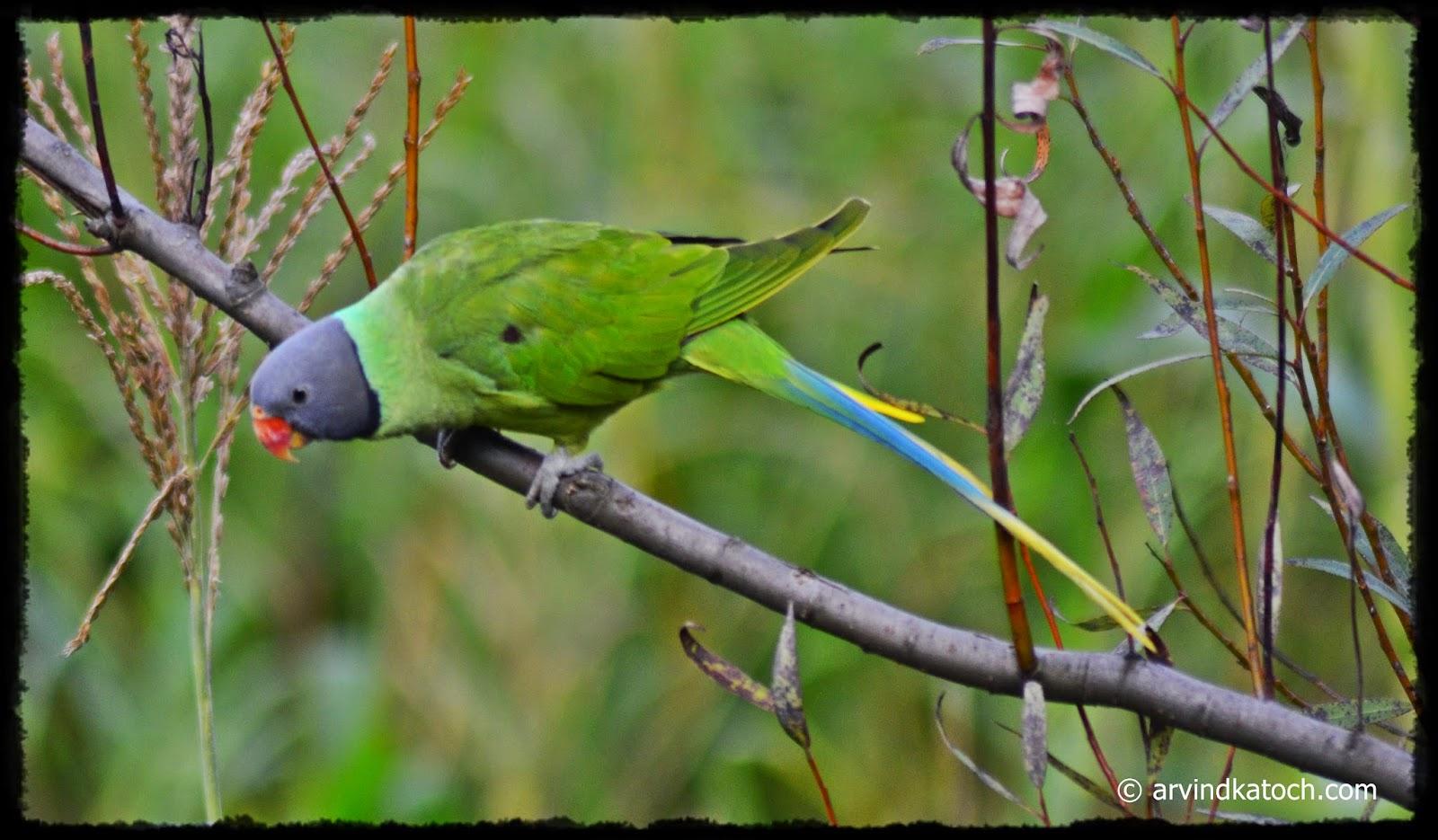 Parrot, Blue Tale,